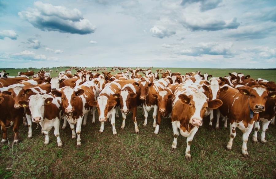Сельскохозяйственное животноводство